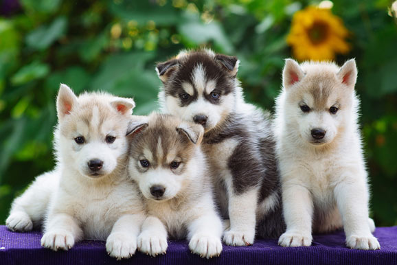 how much do Husky puppies cost