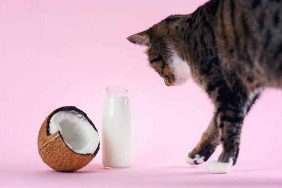 can cat eat coconut milk
