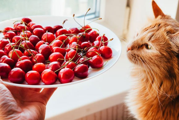 Can Cats Eat Cherries and How to Feed Them? - Best Tips for