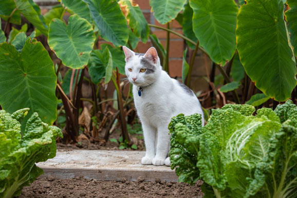 is-cabbage-safe-for-cats-to-eat