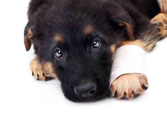 adopting-rescuing-German-Shepherd