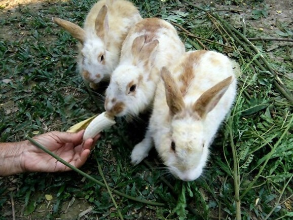 are bananas safe for rabbits