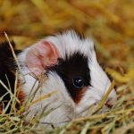 are grapes safe for guinea pigs