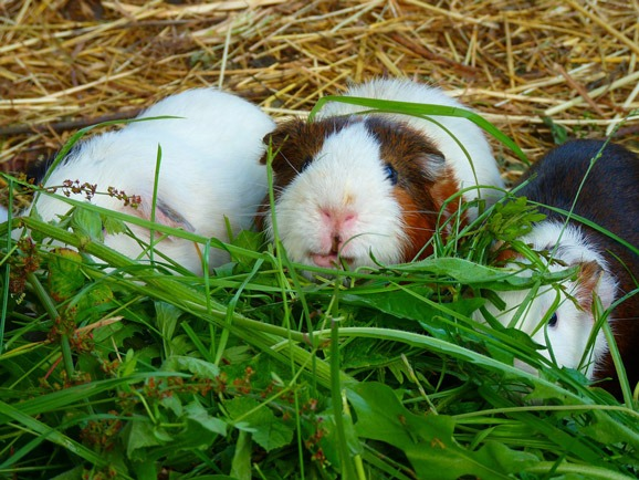 how much asparagus to feed a guinea pig
