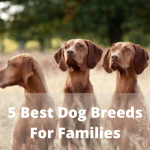 5 Best Dog Breeds For Families_ Vizsla Dog