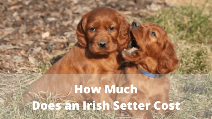 how much are irish setters