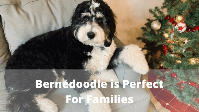 how much does Bernedoodle cost
