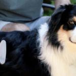 breed-australian-shepherd-grooming