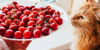 can-cats-eat-cherries